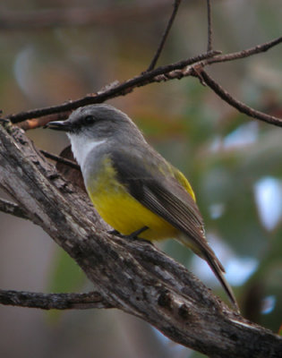 Gray-breasted Robin