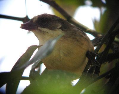 Pale-headed Brush-finch