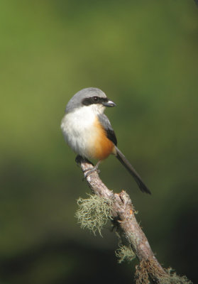 Mountain (Grey-capped) Shrike