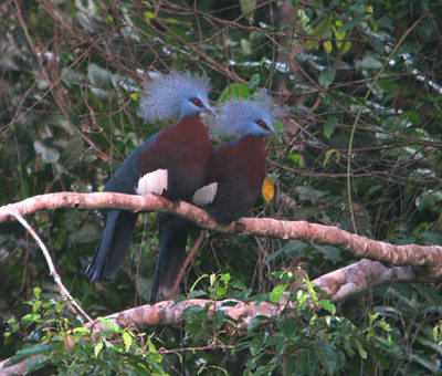 Southern Crowned-Pigeon