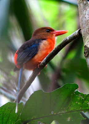 Brown-headed Paradise-kingfisher