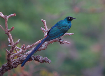 Long-tailed Starling