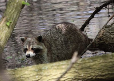 Raccoon (USA)