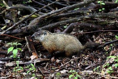 Woodchuck (USA)
