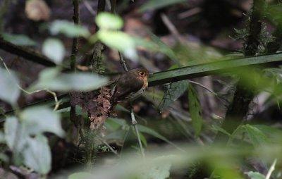 Ochre-breasted Antpitta