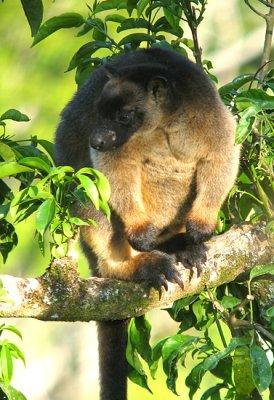 Lumholtz's Tree Kangaroo (Australia)