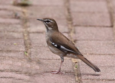 Brown Scrub-Robin