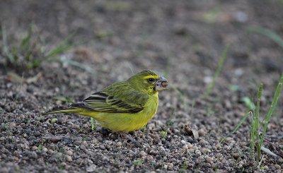 Brimstone (Bully) Canary