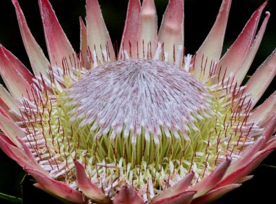 King Sugarbush Protea cynaroides