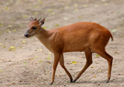 Red Duiker (South Africa)