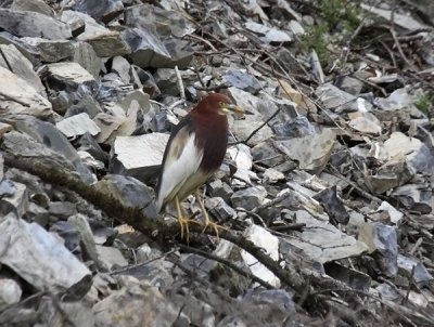Chinese Pond-Heron