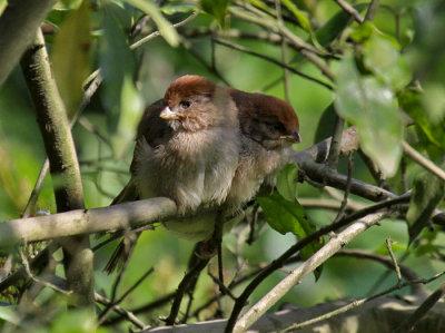 Vinous-throated Parrotbills (juveniles)
