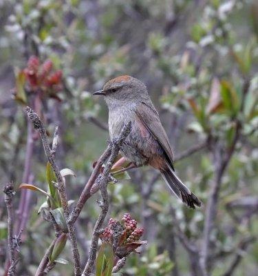 Severtsov's (White-browed) Tit-Warbler (female)
