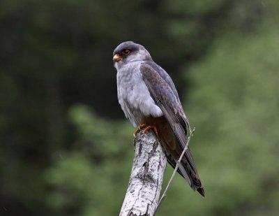 Amur Falcon (immature male)