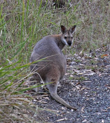 Red-necked Wallaby (Australia)