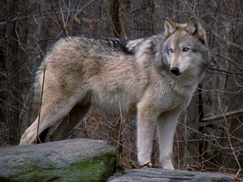 biggest wolf in the world - photo #1