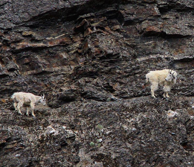Mountain Goats - Nanny & Kid