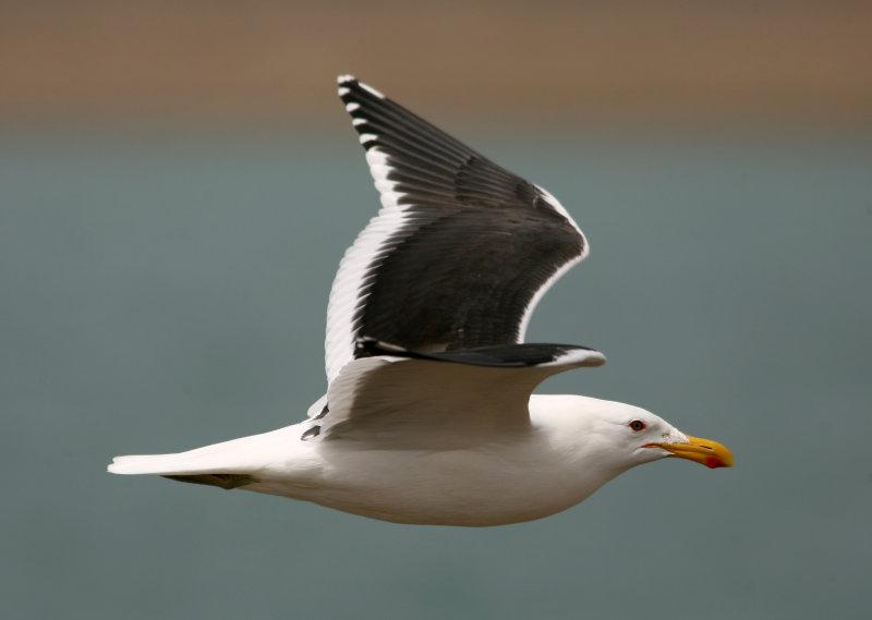 1103 Kelp Gull, Larus Dominicanus, ad, Peninsula Valdez, Argentina,  20101103.jpg