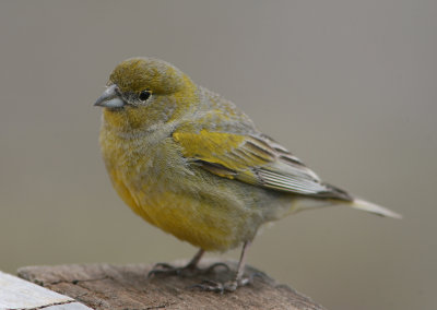 1103 Patagonian Yellow-Finch, Sicalis lebruni, male, Penisnula Valdez, Argentina, 20101102.jpg