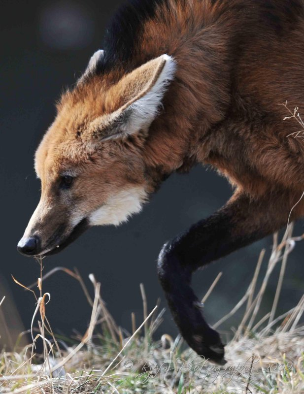 Maned Wolf  DC National Zoo
