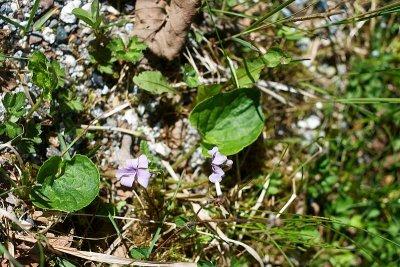 Alaska Violet