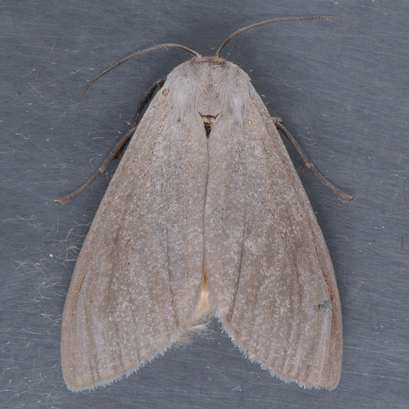 8238   Milkweed Tussock Moth - Euchaetes egle