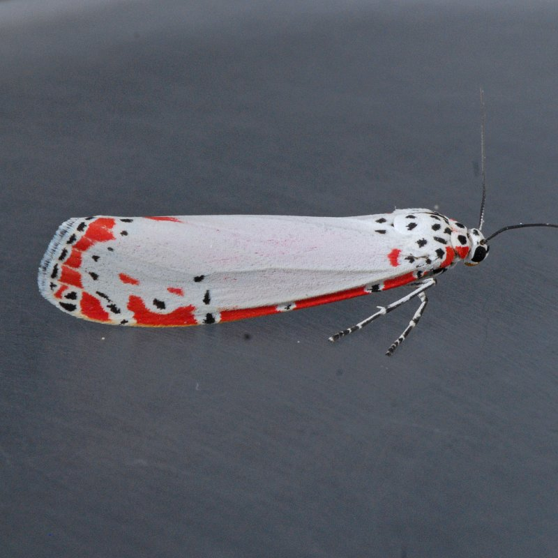 8105 Ornate Moth - Utetheisa ornatrix photo - Mark Dreiling
