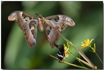 Atlas Moth & Common Mormon Butterfly