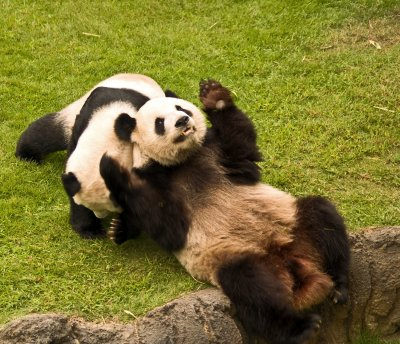 Pandas and other zoo shots