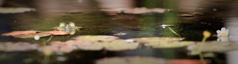 Image of a frog in a pond