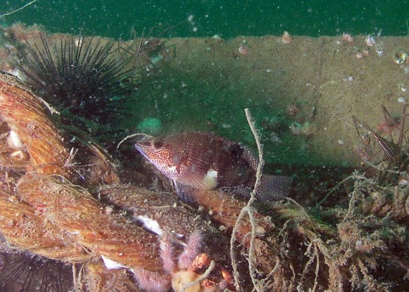 Belted Sandfish