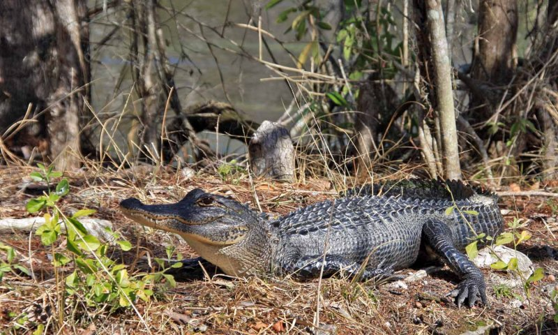 IMG_4037 alligator.jpg