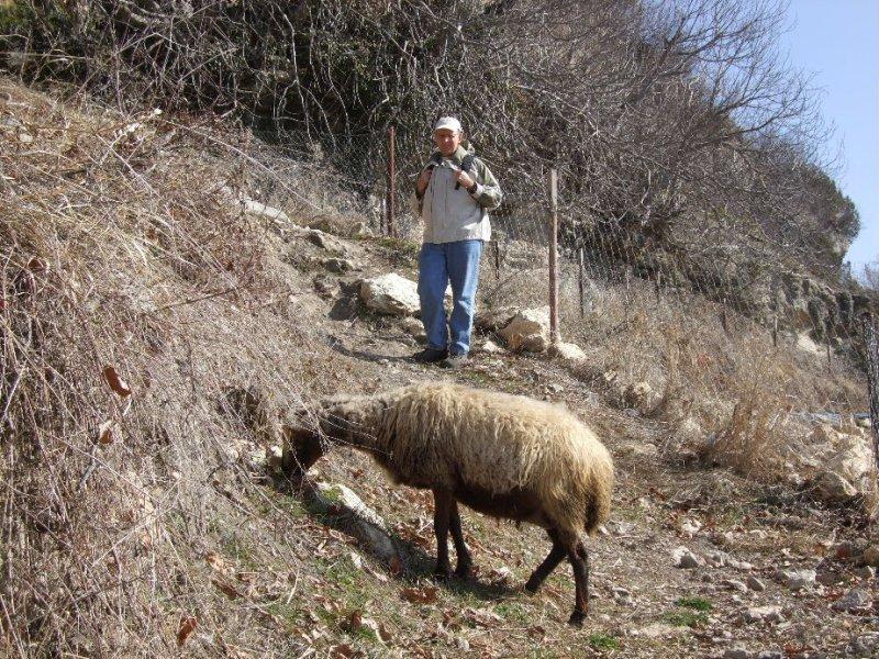 Ewe grazing along our path.