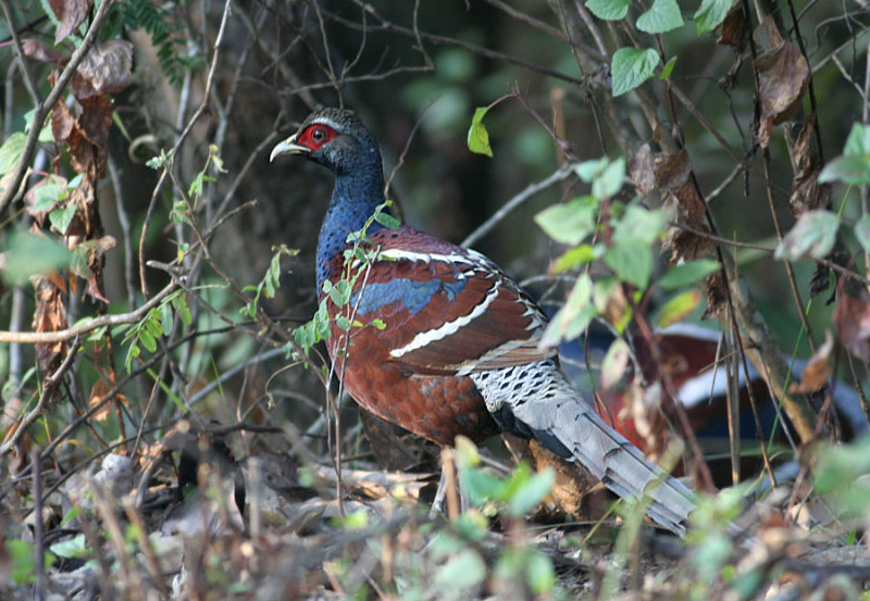 Humes Pheasant, male