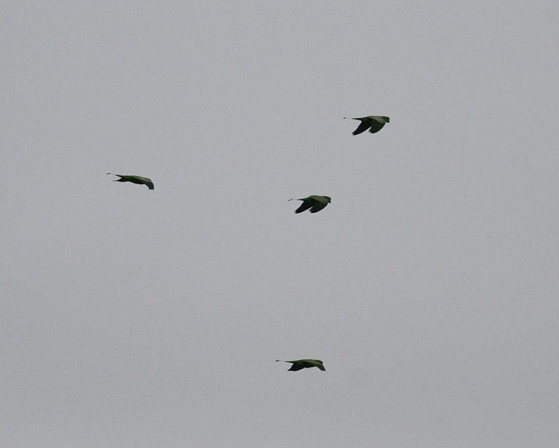 Yellow-breasted Raquet tails