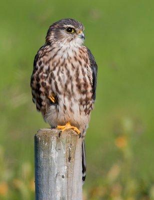 merlin <br> smelleken <br> Falco columbarius
