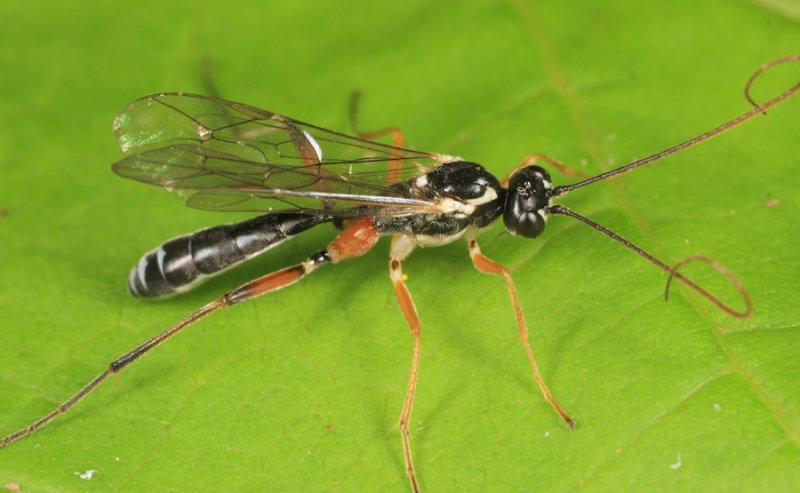 Mesoleptidea sp.