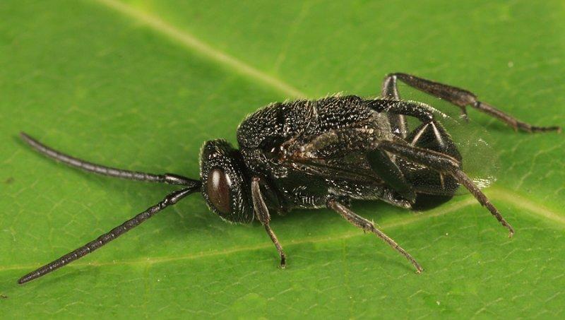 Hyptia harpyoides