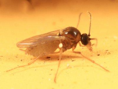 Atrichopogon fusculus