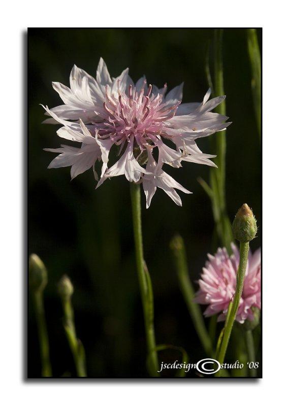 Centaurea cyanus<br>(<i>Bachelors Buttons</i>)