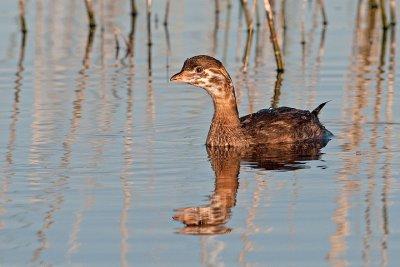 Pied-billed Grebe, juvenile, NE Swale, Saskatchewan