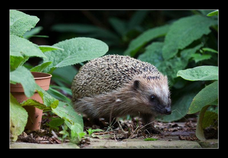 5613  hedgehog / egel