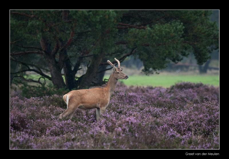 2494  red deer spitser / edelhert