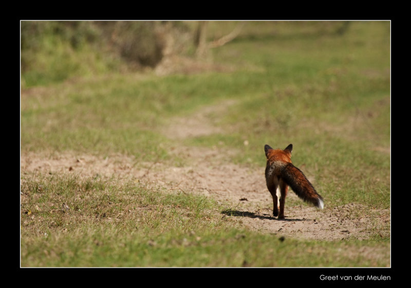 3708 fox