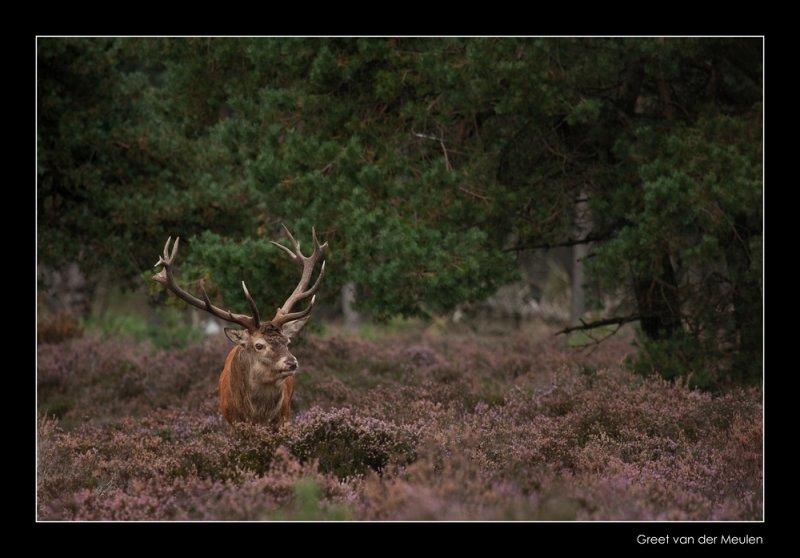 4948 red deer / edelhert