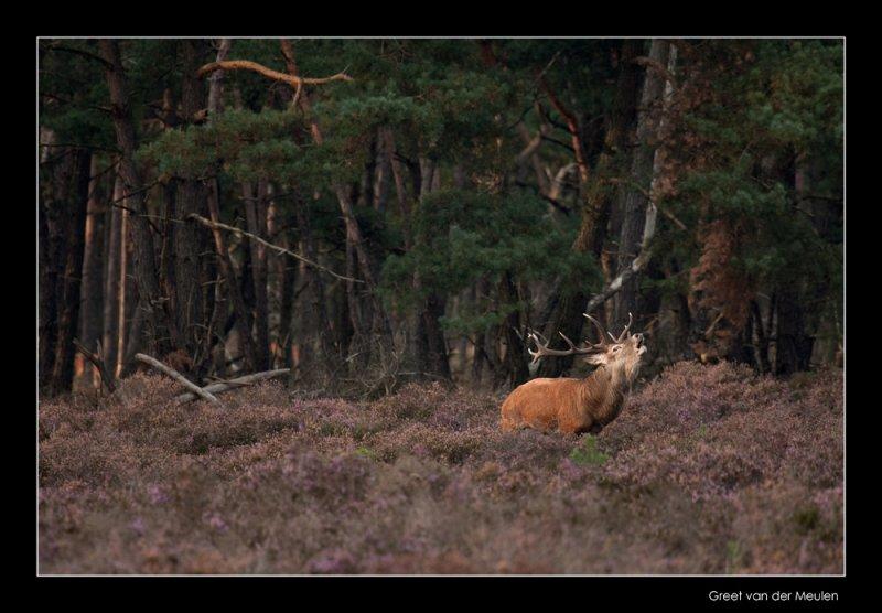 5311 red deer / edelhert