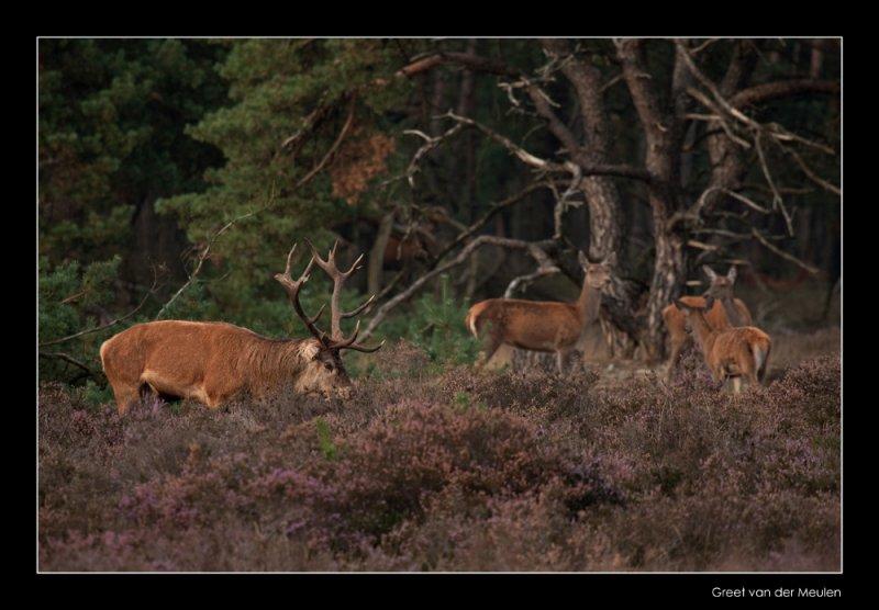 5355 red deer / edelherten