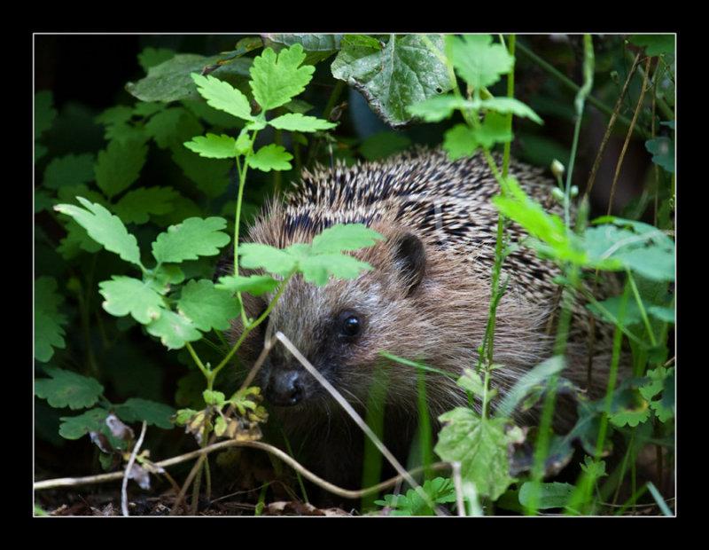 5470  hedgehog -egel