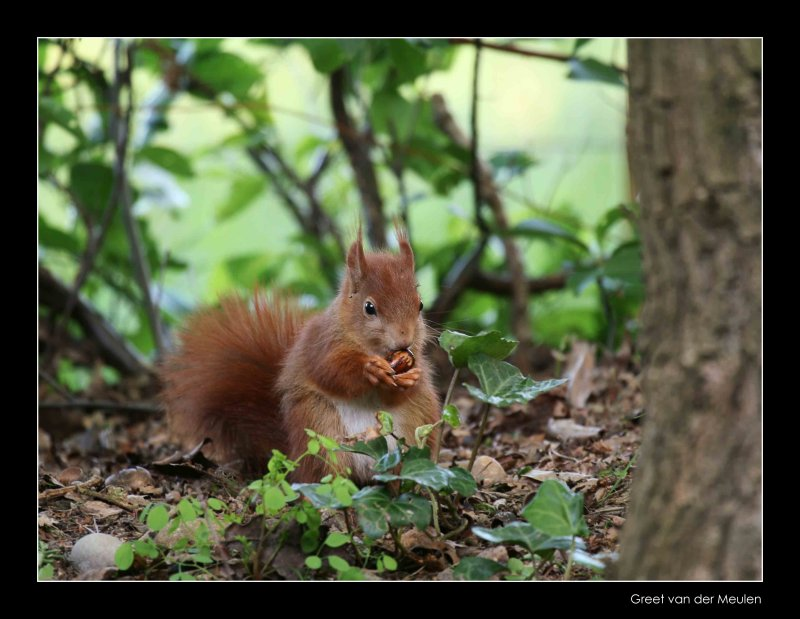 3312 young red squirrel