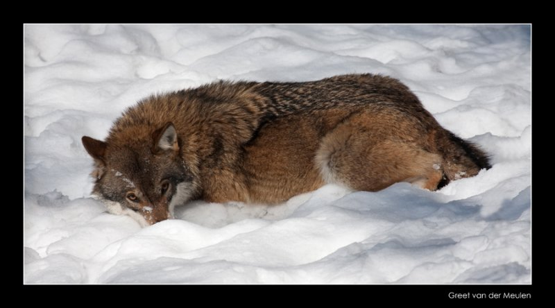 0236 wolf lying in the snow (c)